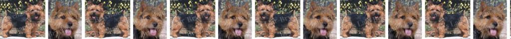Norwich Terrier Dog Breed Custom Printed Grosgrain Ribbon