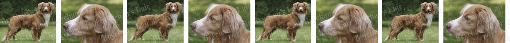 Nova Scotia Duck Tolling Retriever No1 Dog Breed Custom Printed Grosgrain Ribbon