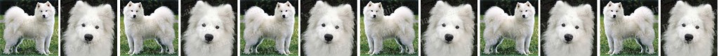 Samoyed Dog Breed Custom Printed Grosgrain Ribbon