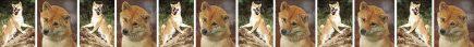 Shiba Inu Dog Breed Custom Printed Grosgrain Ribbon