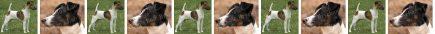 Smooth Fox Terrier Dog Breed Custom Printed Grosgrain Ribbon