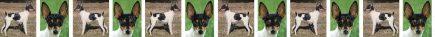 Toy Fox Terrier Dog Breed Custom Printed Grosgrain Ribbon