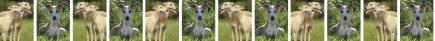 Whippet Dog Breed Custom Printed Grosgrain Ribbon