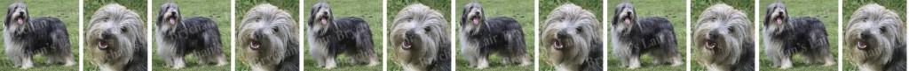 Bearded Collie Dog Breed Custom Printed Grosgrain Ribbon