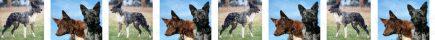 Koolie Dog Breed Custom Printed Grosgrain Ribbon