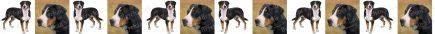 Greater Swiss Mountain Dog Breed Custom Printed Grosgrain Ribbon