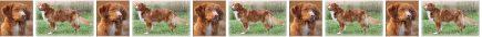 Nova Scotia Duck Tolling Retriever No2 Dog Breed Custom Printed Grosgrain Ribbon