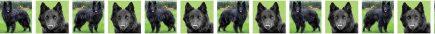 Belgian Sheepdog Dog Breed Custom Printed Grosgrain Ribbon