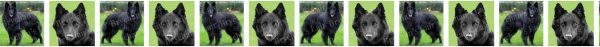 Belgian Sheepdog Dog Breed Custom Printed Grosgrain Ribbon