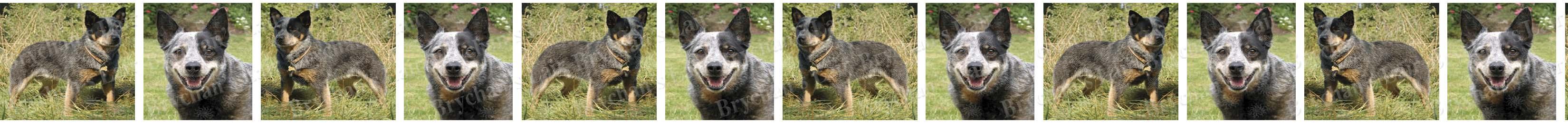 Australian Cattle Dog Breed Custom Printed Grosgrain Ribbon