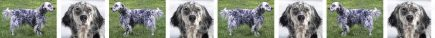 English Setter Blue Dog Breed Custom Printed Grosgrain Ribbon