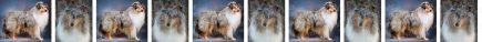 Blue Merle Rough Coated Collie Dog Breed Custom Printed Grosgrain Ribbon