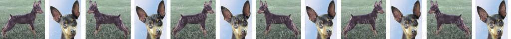 Chocolate Miniature Pinscher Dog Breed Custom Printed Grosgrain Ribbon