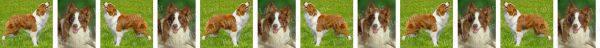 Red & White Border Collie Dog Breed Custom Printed Grosgrain Ribbon