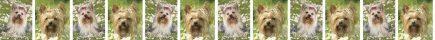Yorkshire Terrier In the Meadow Dog Breed Custom Printed Grosgrain Ribbon
