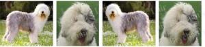 Sheepdog No1 Dog Breed Ribbon Design