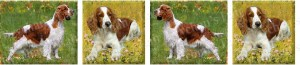 Welsh Springer Spaniel Dog Breed Ribbon Design