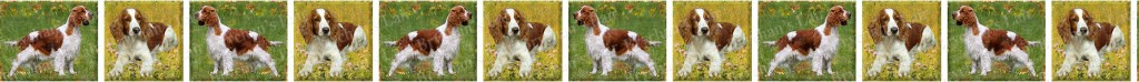 Welsh Springer Spaniel Dog Breed Custom Printed Grosgrain Ribbon