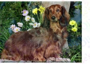 Ruby Long Haired Dachshund Product Image No2