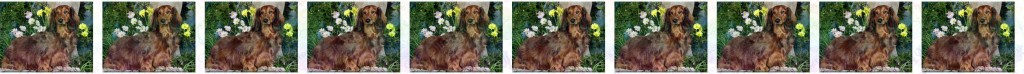 Ruby Long Haired Dachshund Product Image No1